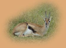 Thomson's Gazelle - one of the most beautiful animals you'll see, but rarely paid much attention on safaris!